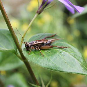 Grillo Acheta insectos vivos alimentación animales exóticos